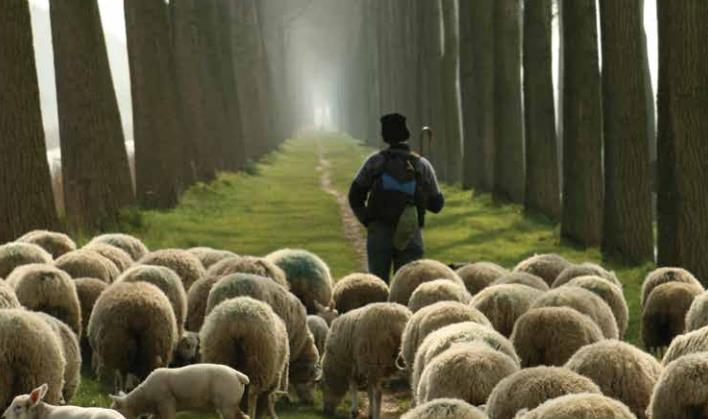 Leading Sheep
