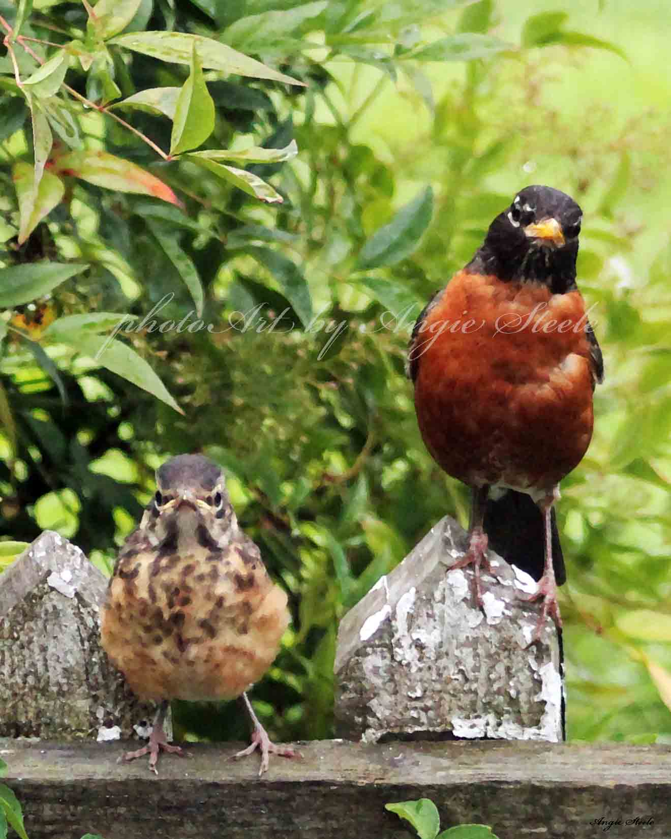 Baby robin and parent