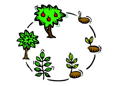 life cycle of a tree from seed to sprout to fruited tree